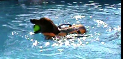 Swim therapy for dogs, hydrotherapy for dogs, swim exercise for dogs