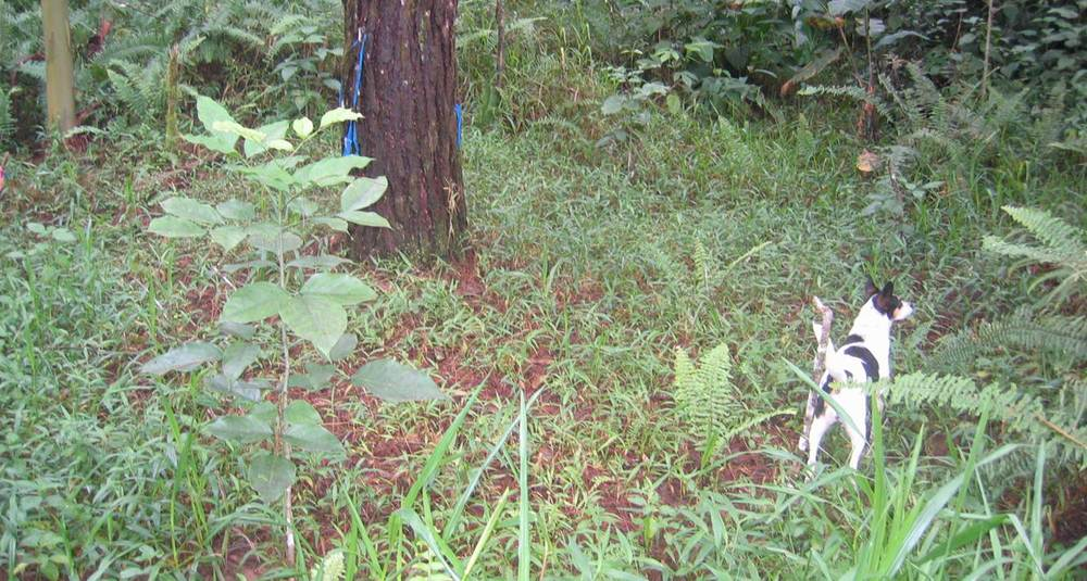 Cristobal sapling (left foreground) two years after planting as a seedling under a pine in Ensayo94, with Mancha the dog.