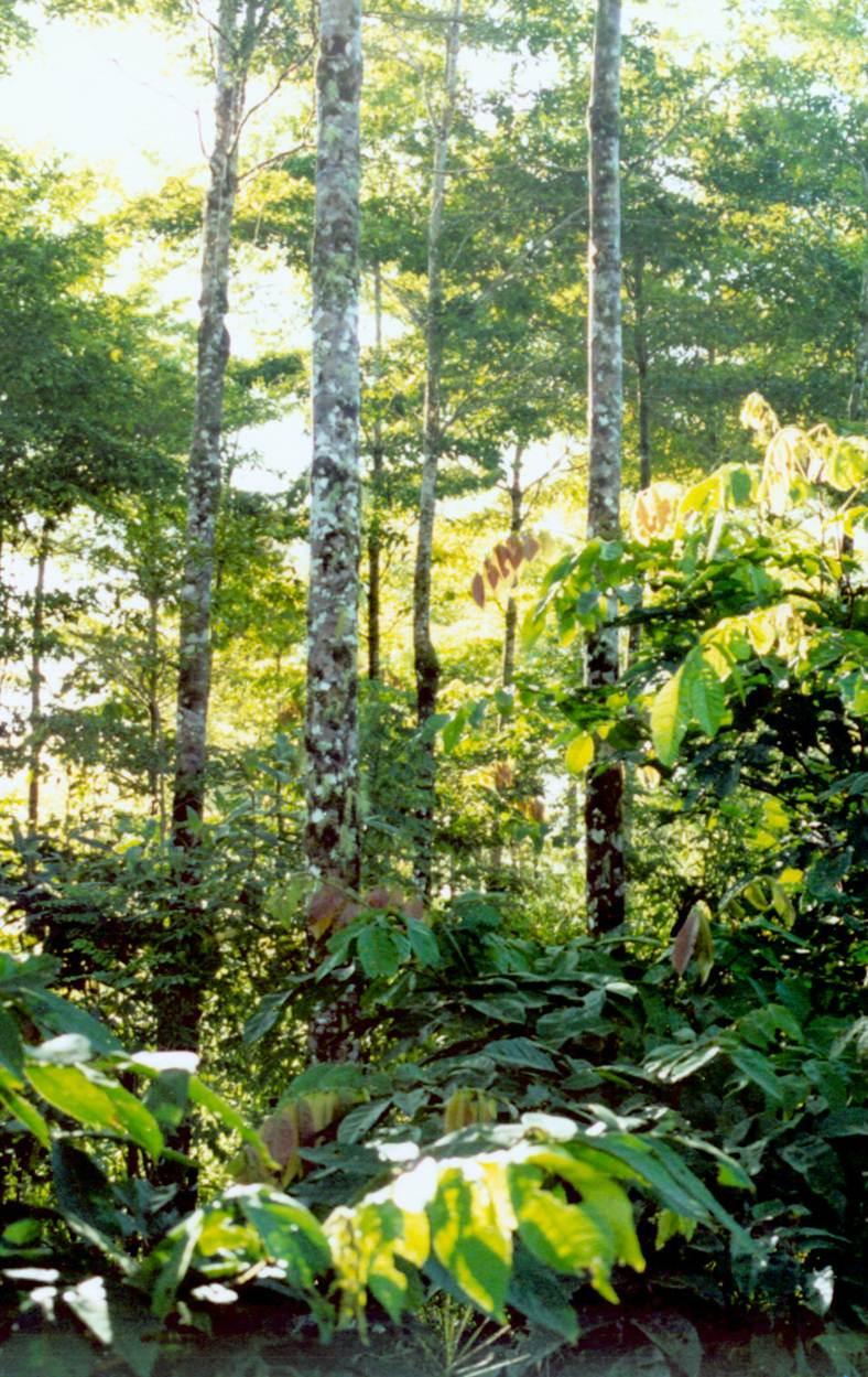 Inga alley in 2005: understory of Inga below Terminalia trees.