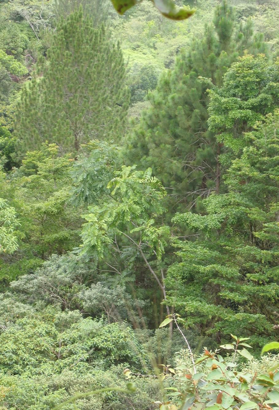 pines cropd.jpg