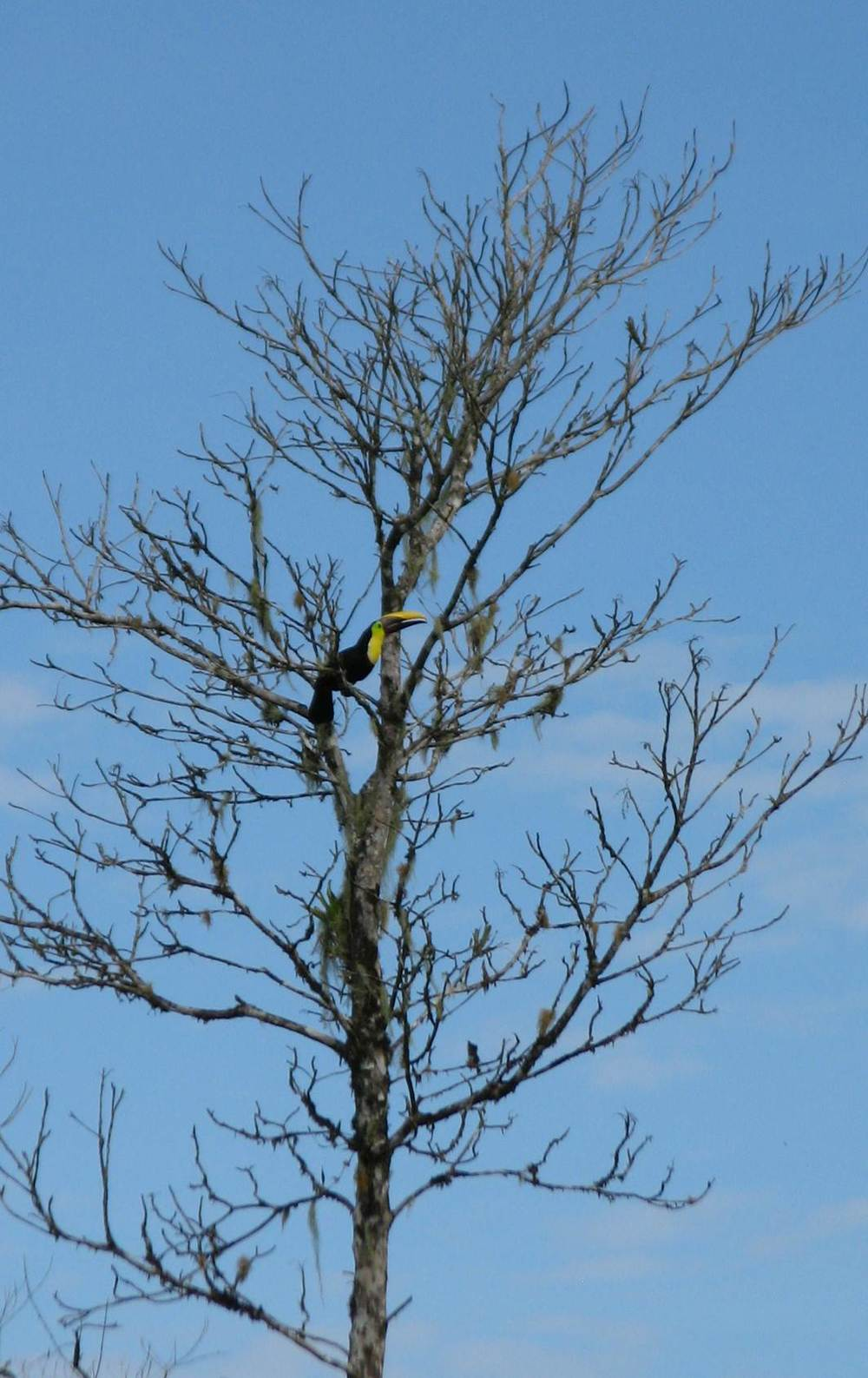 Chestnut-mandibled toucan in a deciduous tree behind the field station, 2012