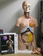 Praxis Human Torso Model