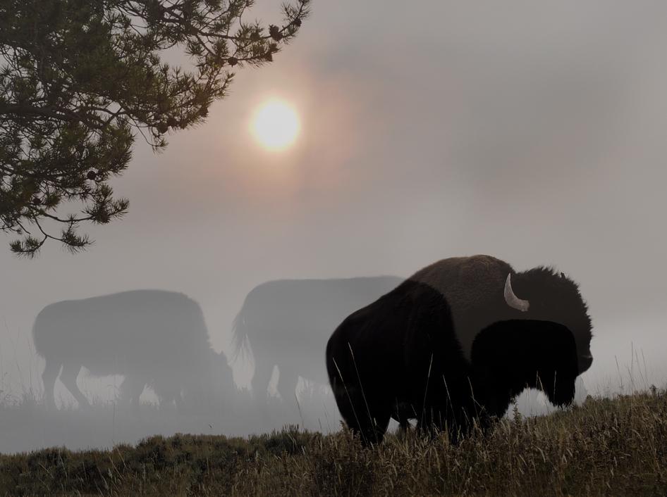Bison Fog Snd (1).jpg