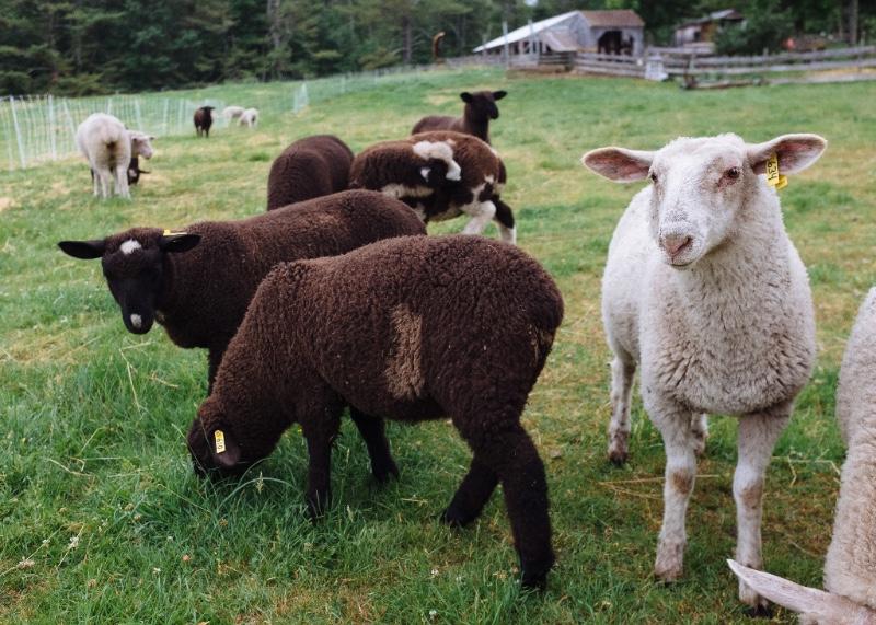 Lambs near the barn