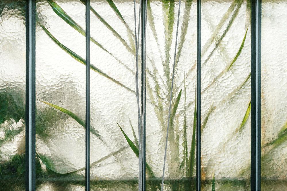 Poaceae Saccharum officinarum