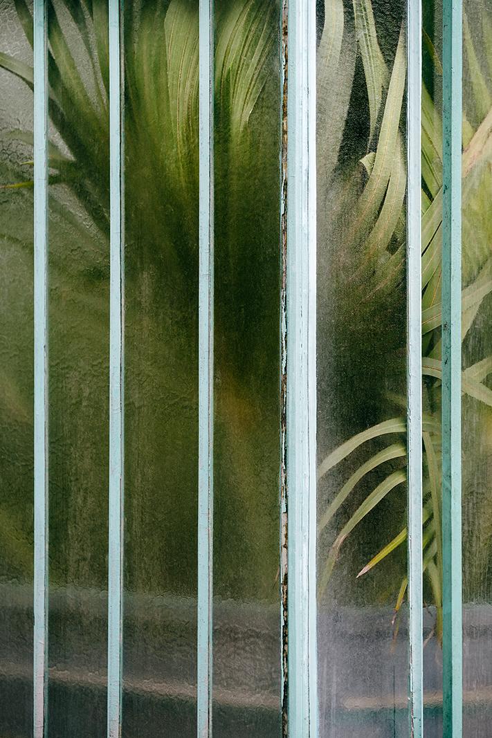 Arecaceae livistonia I