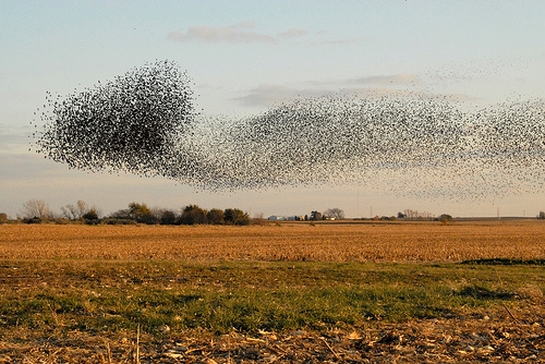 Birds flocking to create aerial patterns