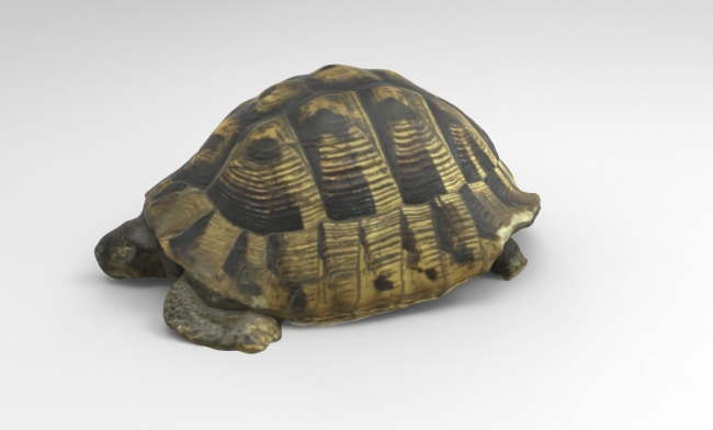 A color texture 3D model of a tortoise
