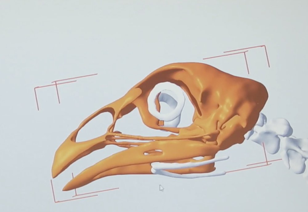 3D scan of the skull of a Ross 308 chicken