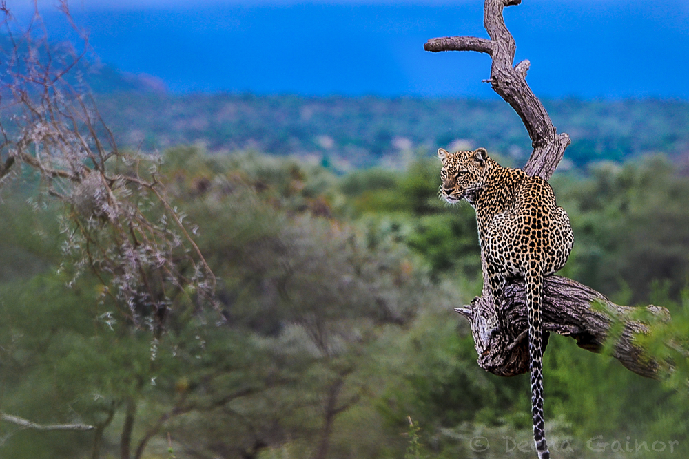 Leopard spotted in Samburu, Kenya