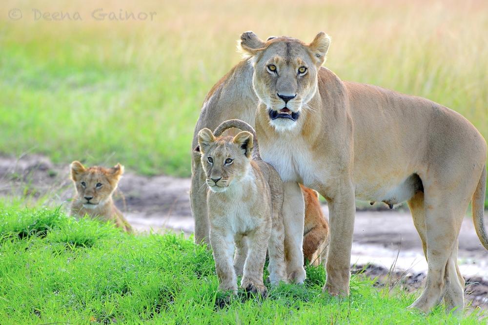 Lioness & her Cubs, Kenya