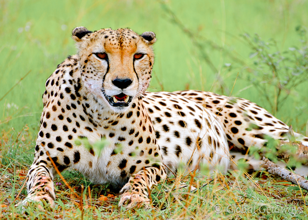 A Cheetah relaxing in Samburu after his feast