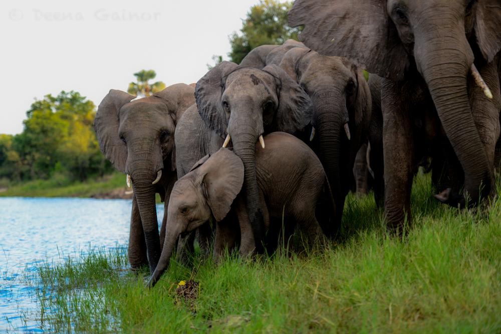 RTW Zambia Vic Falls 21 elephants Zambezi wm.jpg