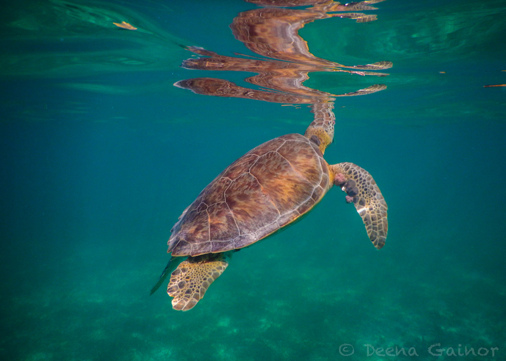 GG Blog Akumal Turtle 1 LR WM.jpg