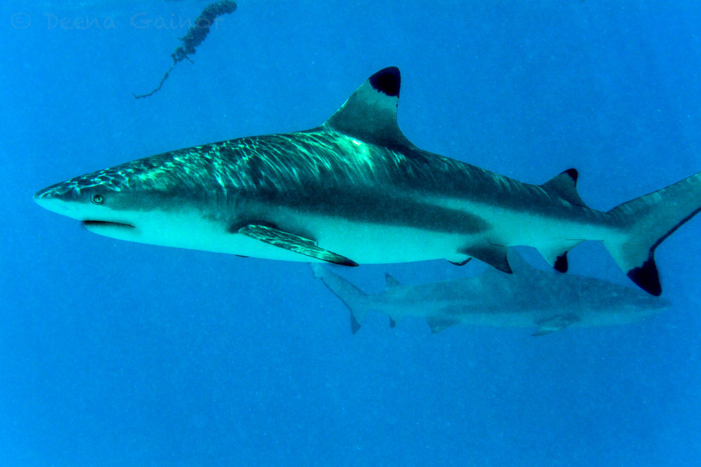RTW Tahiti Shark LR wm.jpg