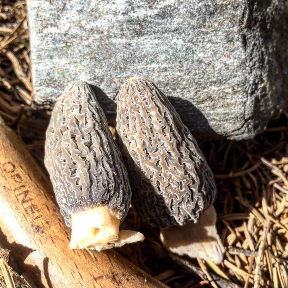 grey morels from a 2015 burn area