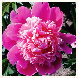 this bloom will take your breath away - Deep pink with salmon and violet tinted petals.