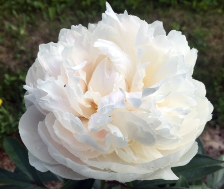 Allan Rogers - White, full double, round peony flower. Opens slowly and becomes a very large flower on strong, sturdy stems. This peony has a lovely fragrant smell. Named in honor of the well known peony grower and author, Allan Rogers.