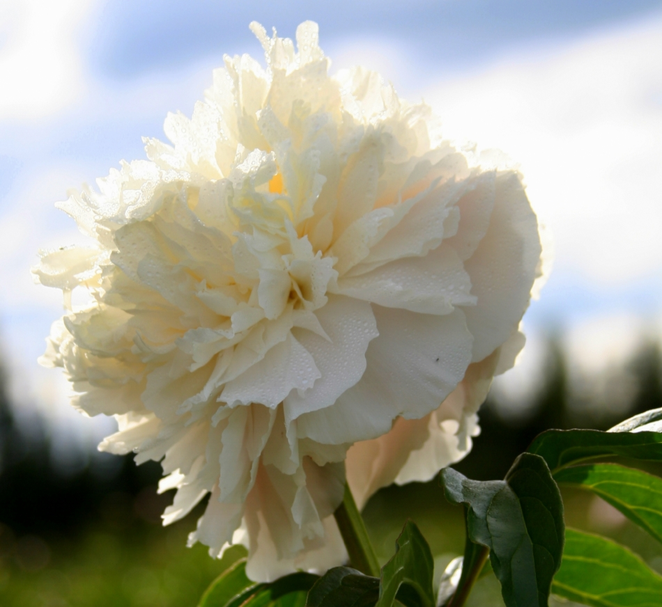 Duchess de Nemours is a lovely ivory white peony.   - It is very full double/bomb bloom with just a hint of a yellow glow in the center.  It has a light spicy fragrance and lasts a long time in a vase or a bouquet.