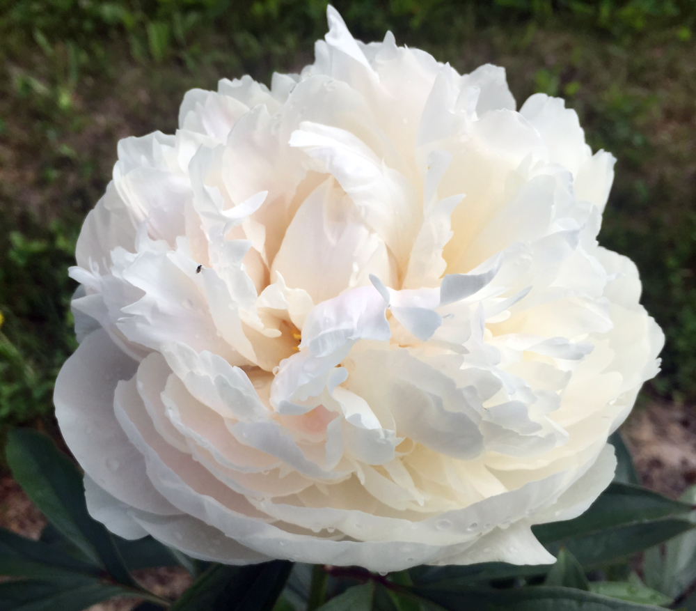 Bowl of Cream - As the name implies Bowl of Cream is a creamy white, full double peony, that opens to large 8-9