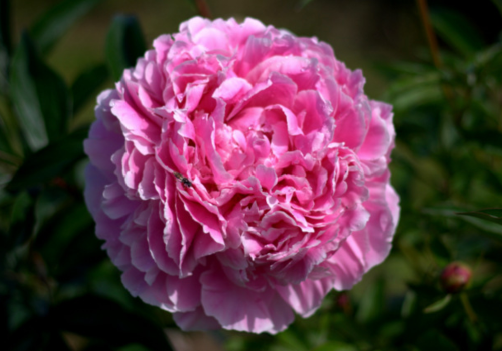 double_peony.png