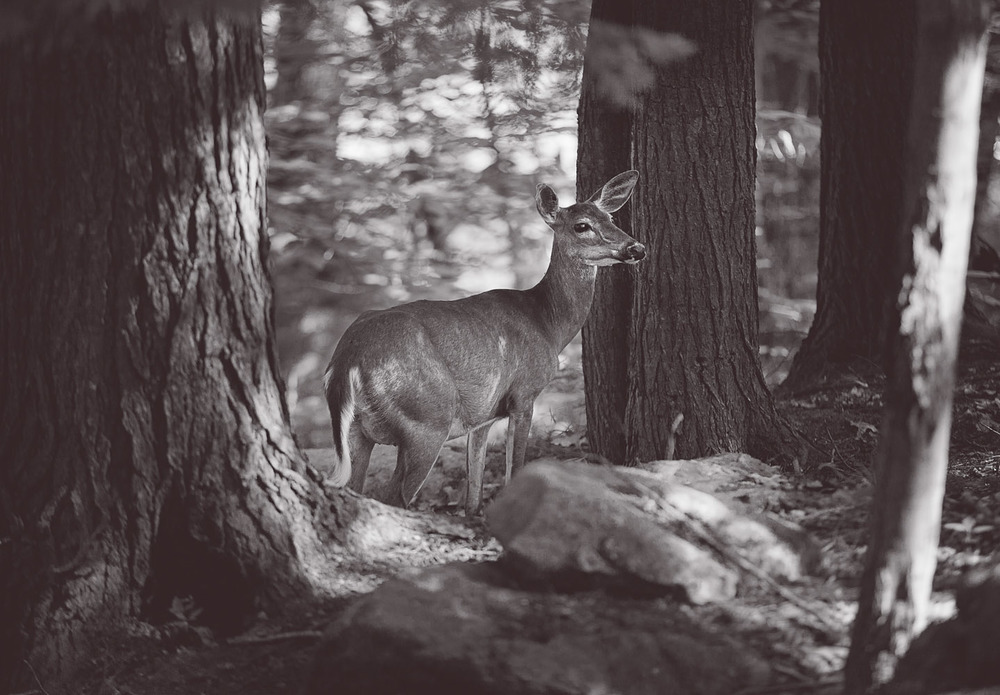 Female deer at Lac Phillippe - Gatineau Park