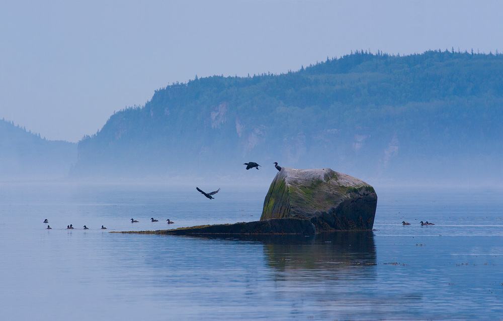 Cormorants in Bic National Park, Quebec canvas  $160.00 29 inches W x 18 inches H x .75 inch D Photo canvas of cormorants jumping off a rock in Bic National Park, Quebec. White border.