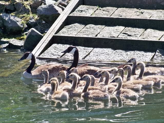 Canadian Geese, quite a few goslings. Troy do you recognize the wooden steps?