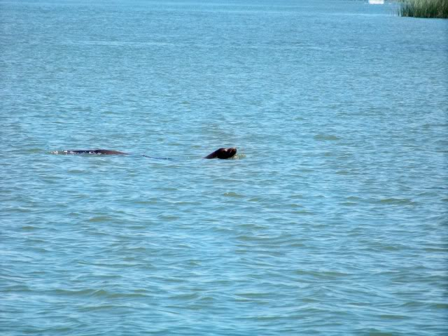 Sea Lion; they have found easy hunting grounds up river and enjoy the absence of sharks, or is there sharks here?