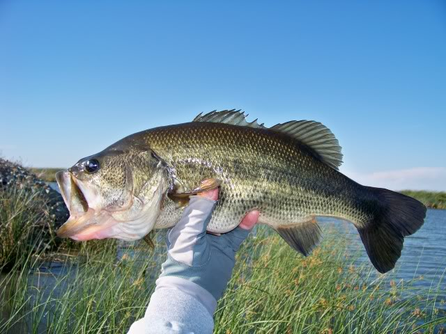 And pull out one of these; nice bass, sorry Miss Bass hope I didn't hurt your belly, every time I tried to lip her and photo she would curl her tail away from me, we talked about and I think she is ok.