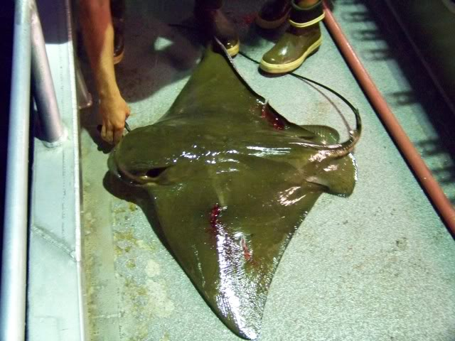 You never know what you might hook into; notice the deck hand standing on the bat ray's stinger equipped tail. This ray was hooked on the starboard side and landed on the port side, tough fight.