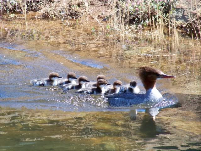 Check out the first chick, it is riding on Mom's back while the rest swim
