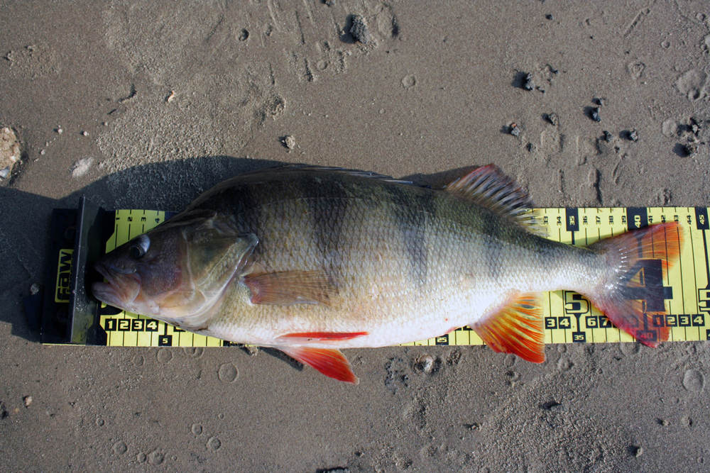 "Mug shot of a 43cm (17"") jumbo perch. Perch measuring more than 40cm (16"") qualifies as 'jumbo'."