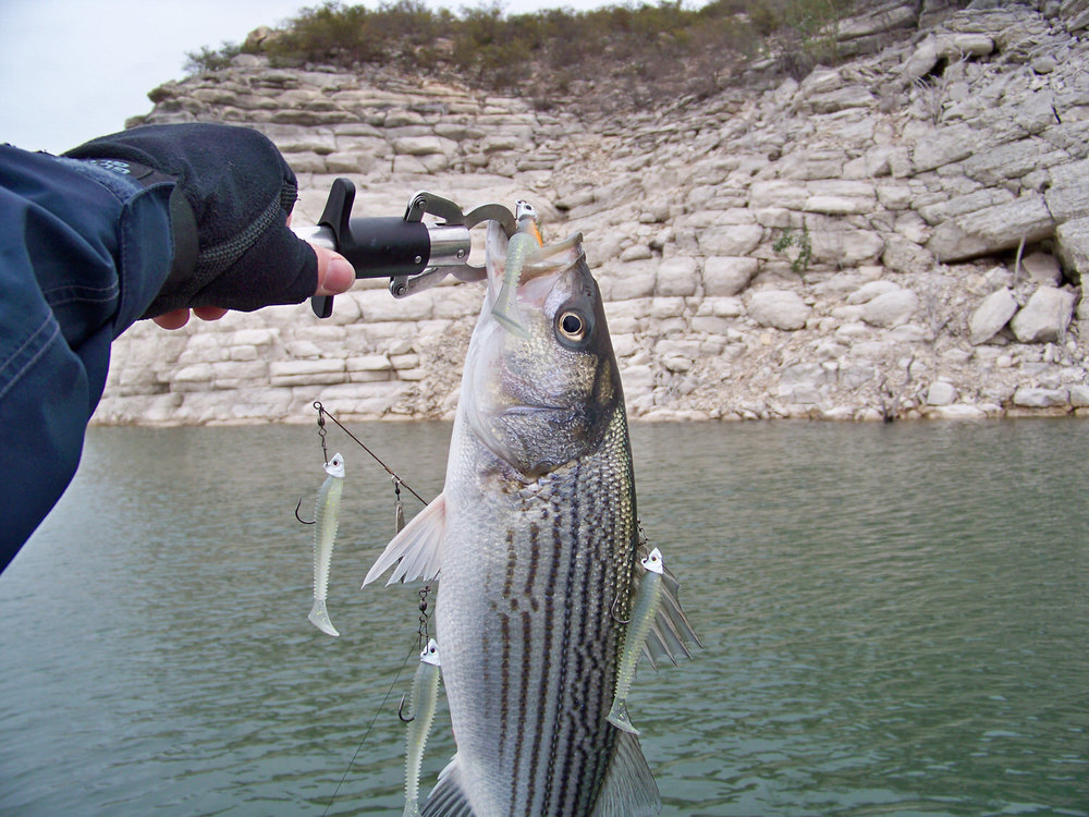 Striper and A-rig fun, amazing how they always hit the larger trailing off colored (orange throat) lure!