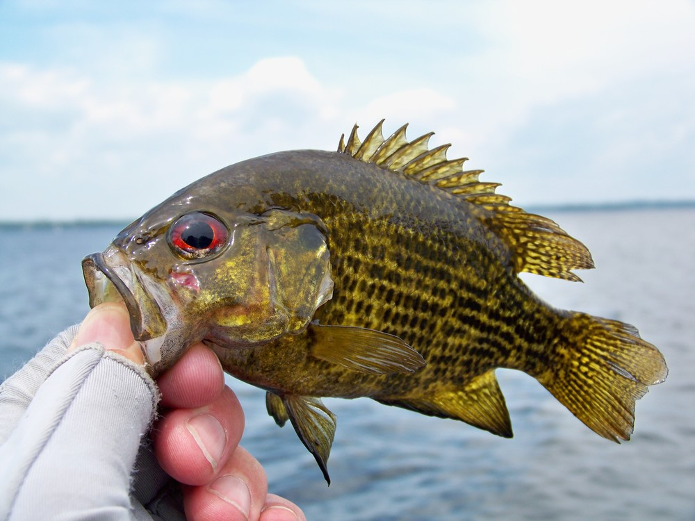 I tricked this Rock Bass with a jerk bait technique.