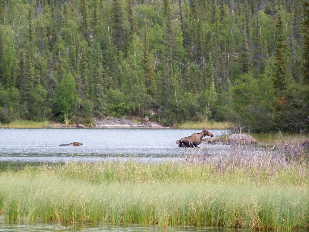 A mother moose and her calf swimming across a creek channel.