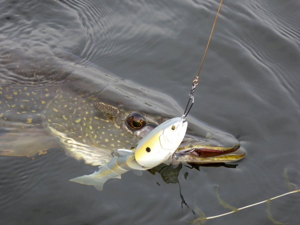 "Water, vegetation, Pike, SPRO BBZ-1 6"" swimbait, and a SPRO wire leader."