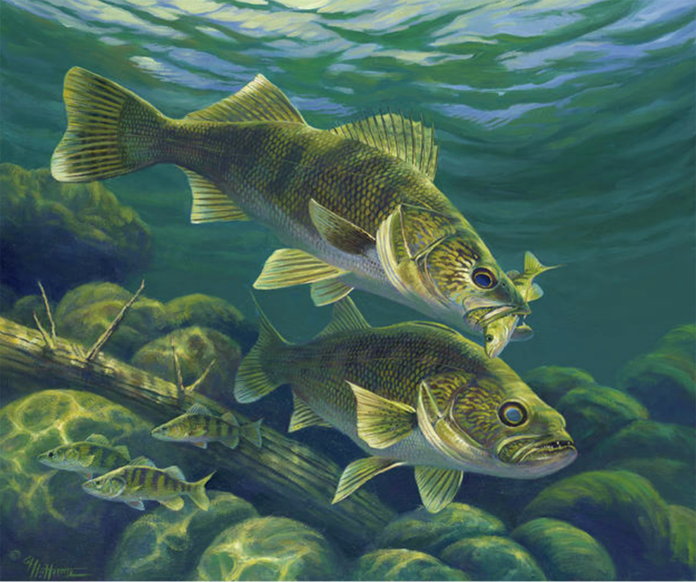 """Predator"" - Walleye and Perch"