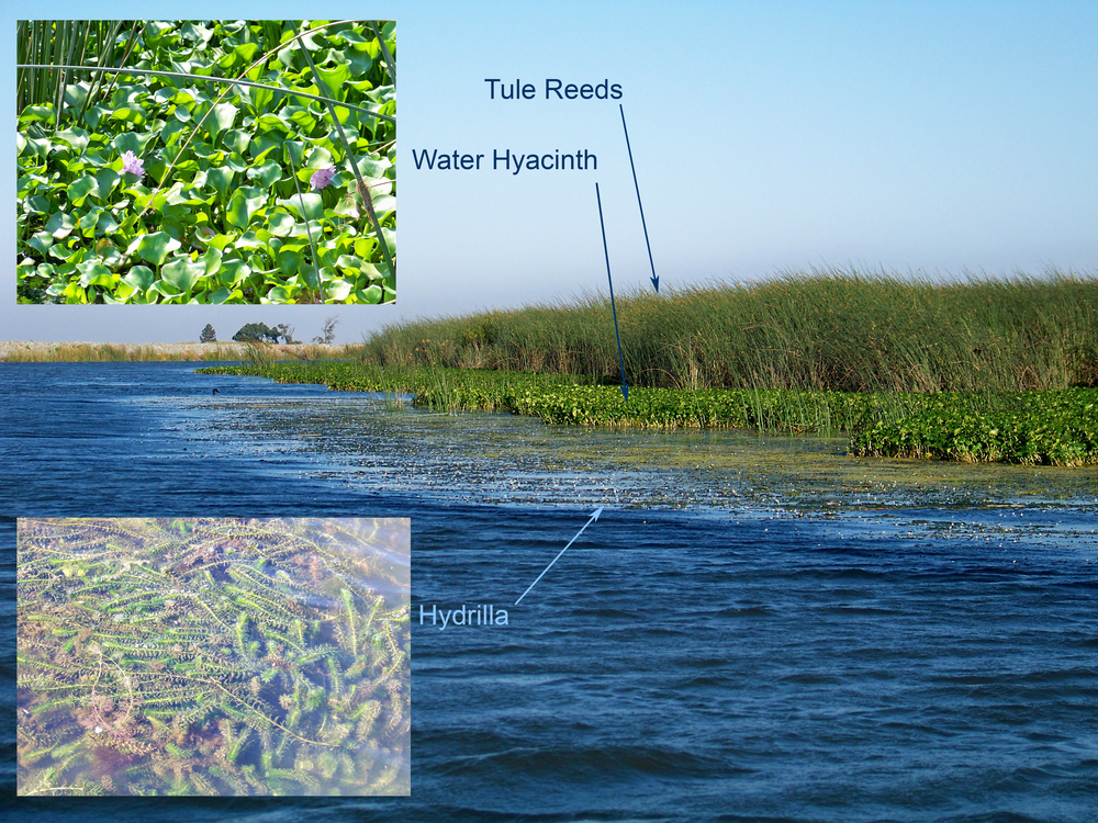 During high tide, the water will flood through lifting the Hydrilla and Water Hyacinth mats, and into the base of tule reeds. The outer edge of the mats will often be associated to a break-line dropping into the deeper water. Bass will strategically position themselves in different locations based on what the tide is doing.