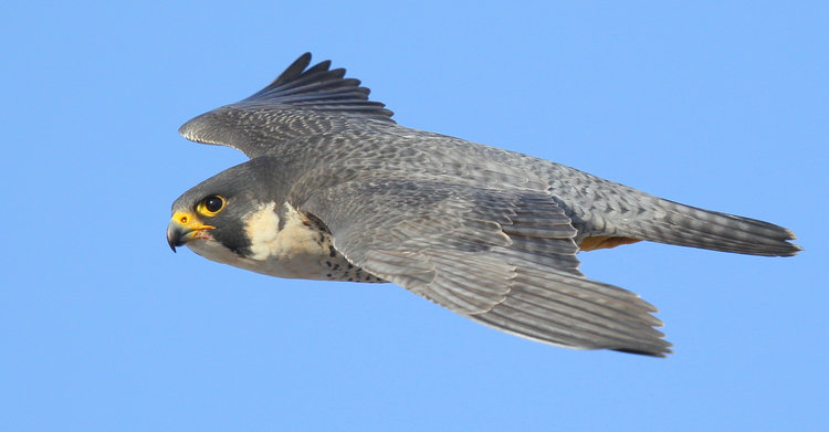 The Peregrine Falcon, reaching speeds up to 250 KPH, is the fastest ...