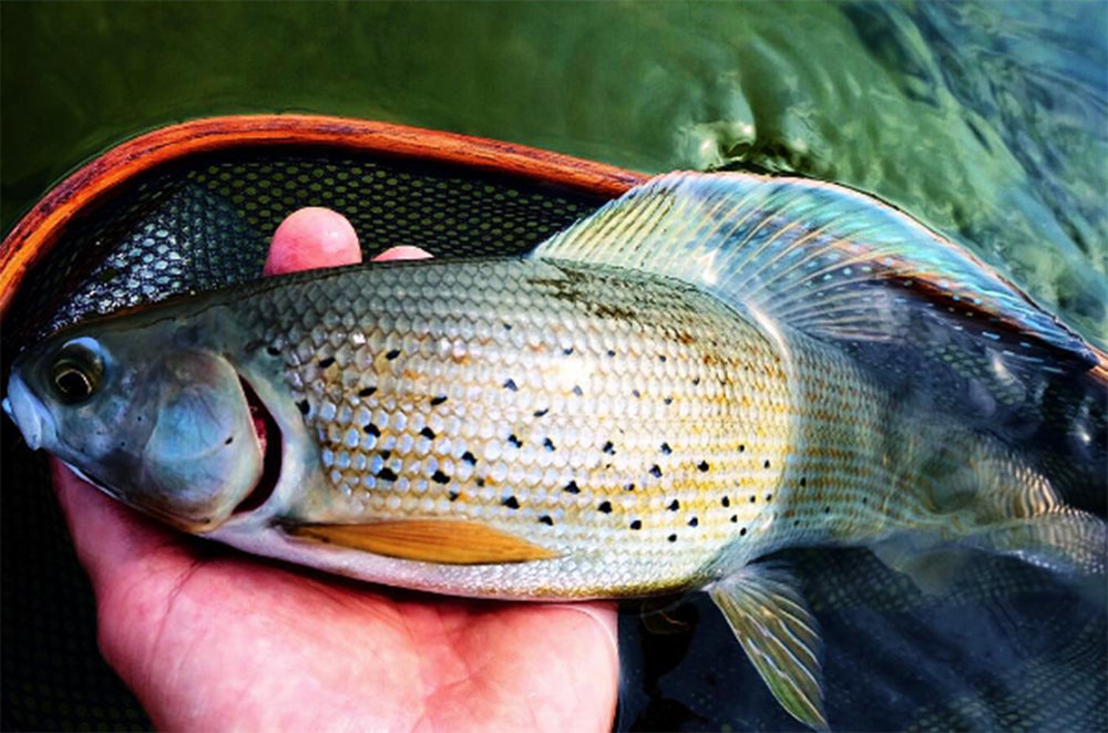 Grayling a freshwater fish in the salmon family, its not common but they can exceed 5 lbs., they occur in lakes but prefer cold, clean running riverine waters.