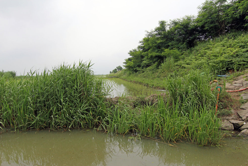 Pic. 3.  Shoreline vegetation along the rice farms holds big bass, especially standing grass.