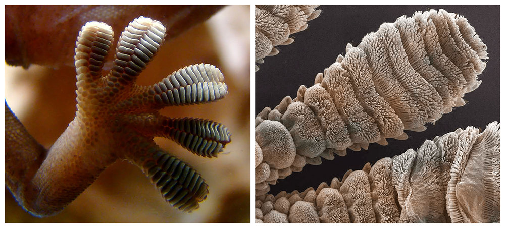 Gecko Foot-collage.jpg