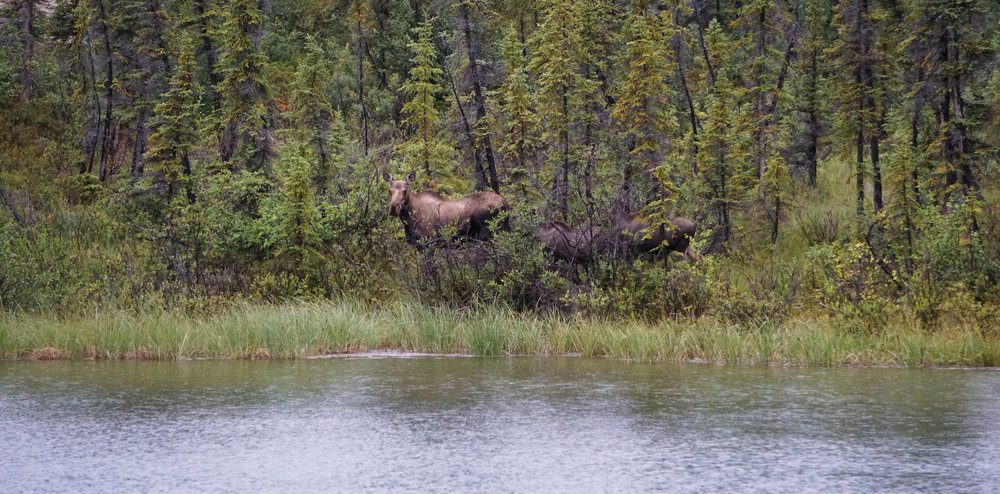 A cow moose and her two calves taking a drink at the edge of a Pike pool.