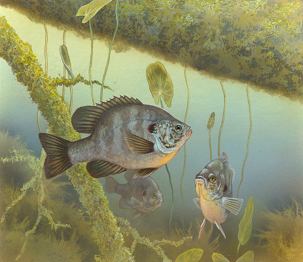U.S. Fish and Wildlife Redear Sunfish/Lepomis microlophus Illustration by Timothy Knepp