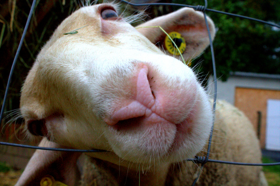 Sheep_cockedhead.jpg