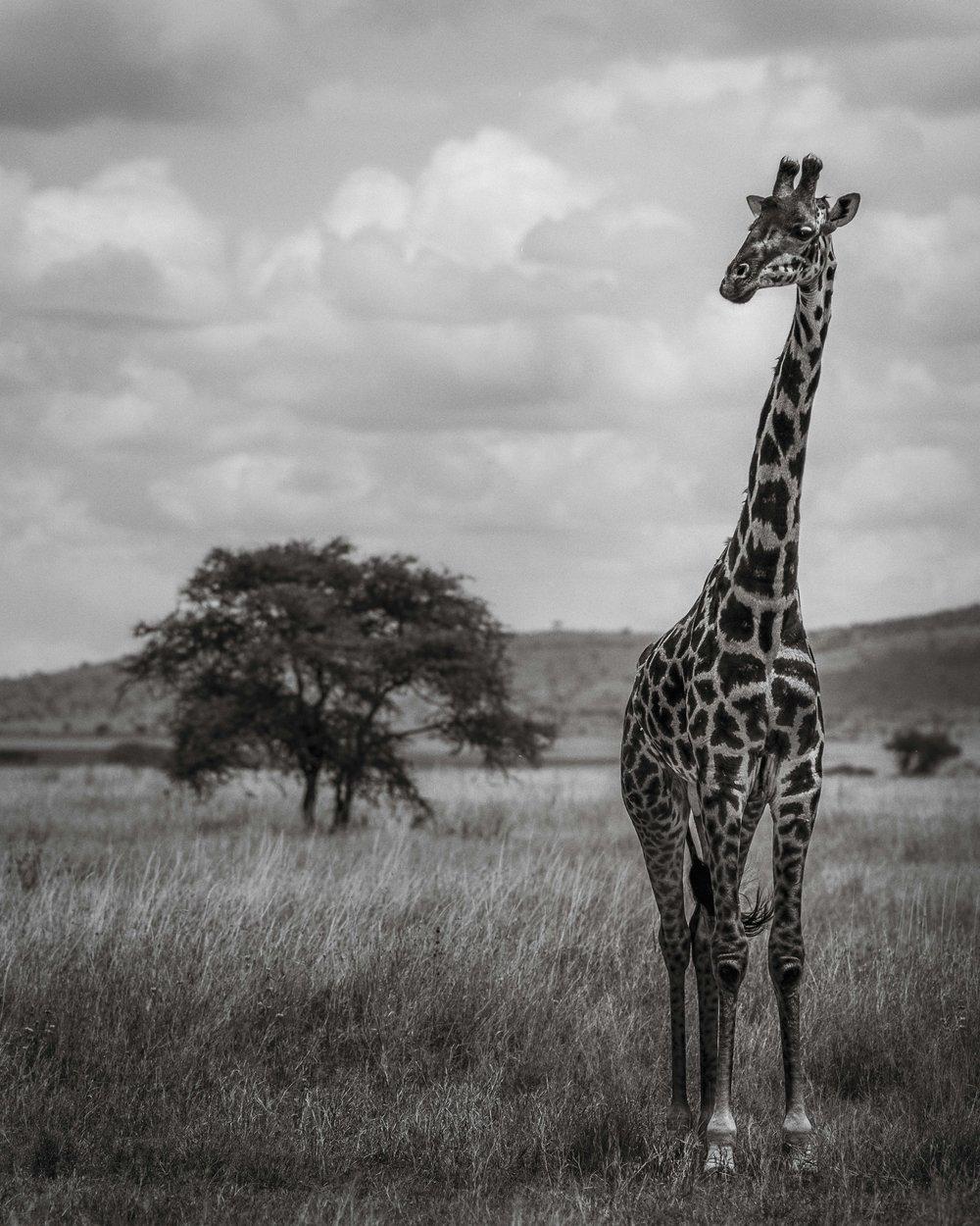 Giraffe Portrait - Serengeti National Park