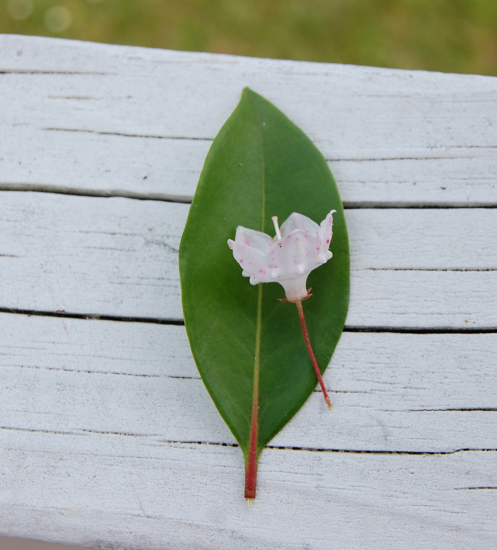 A less-seen view of the mountain laurel flower, with leaf.