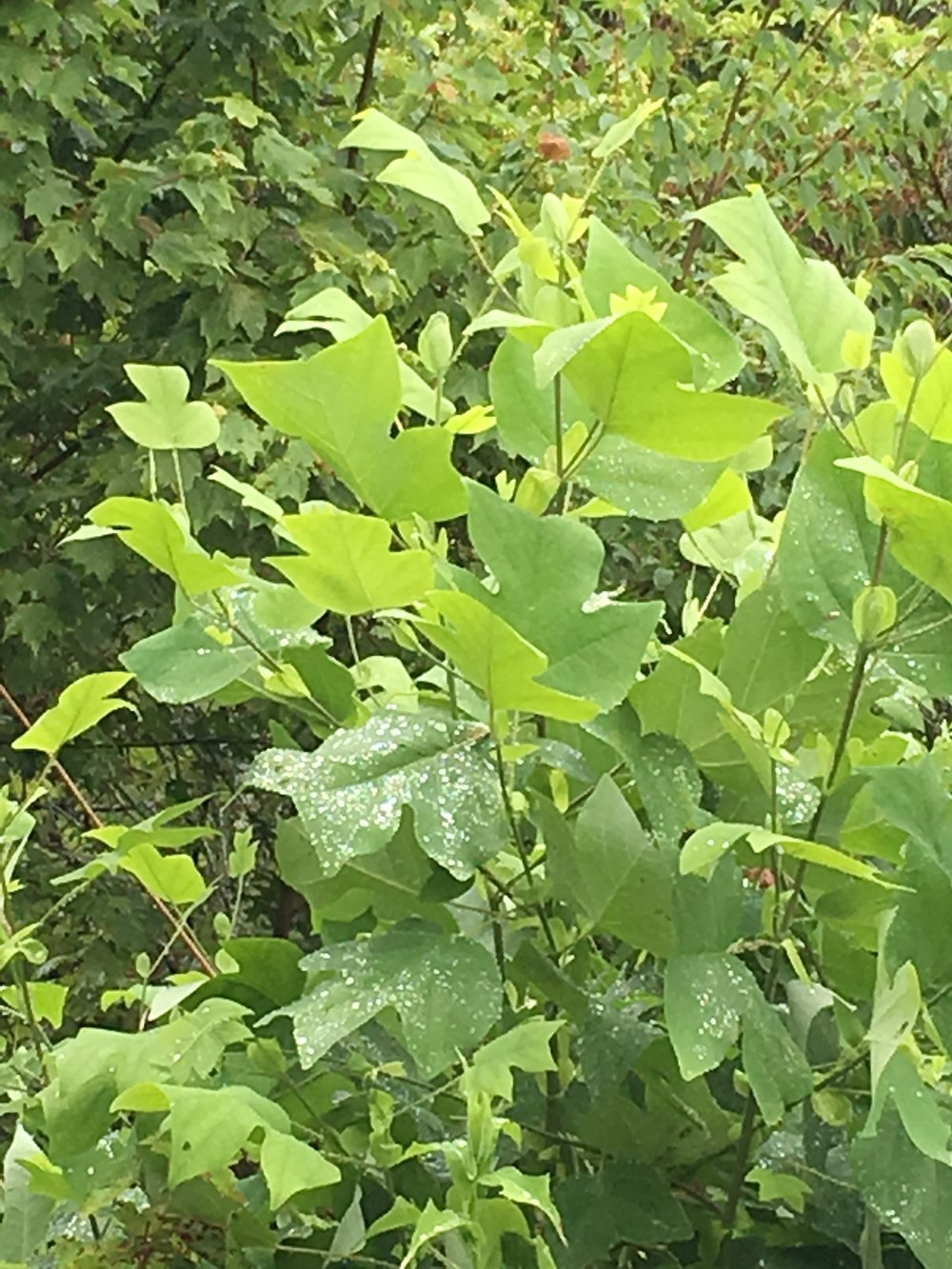 Rain-dropped leaves of the Tuliptree