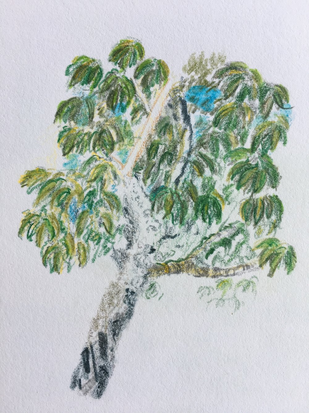 Chestnut oak, watercolour pencils
